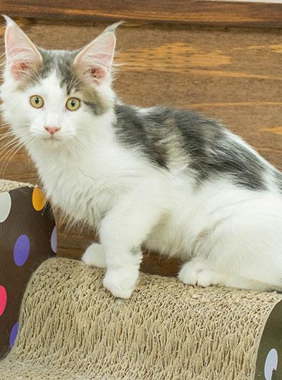 梅田の猫カフェにあにゃあレオン