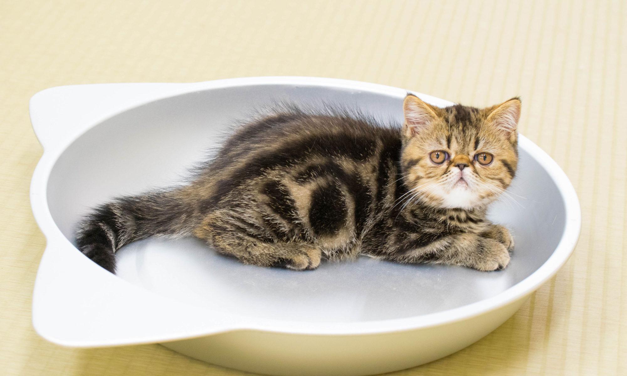 大阪梅田の猫カフェにあにゃあふとこんぶ