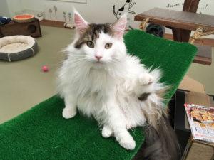 大阪梅田の猫カフェにあにゃあ芝生アリス