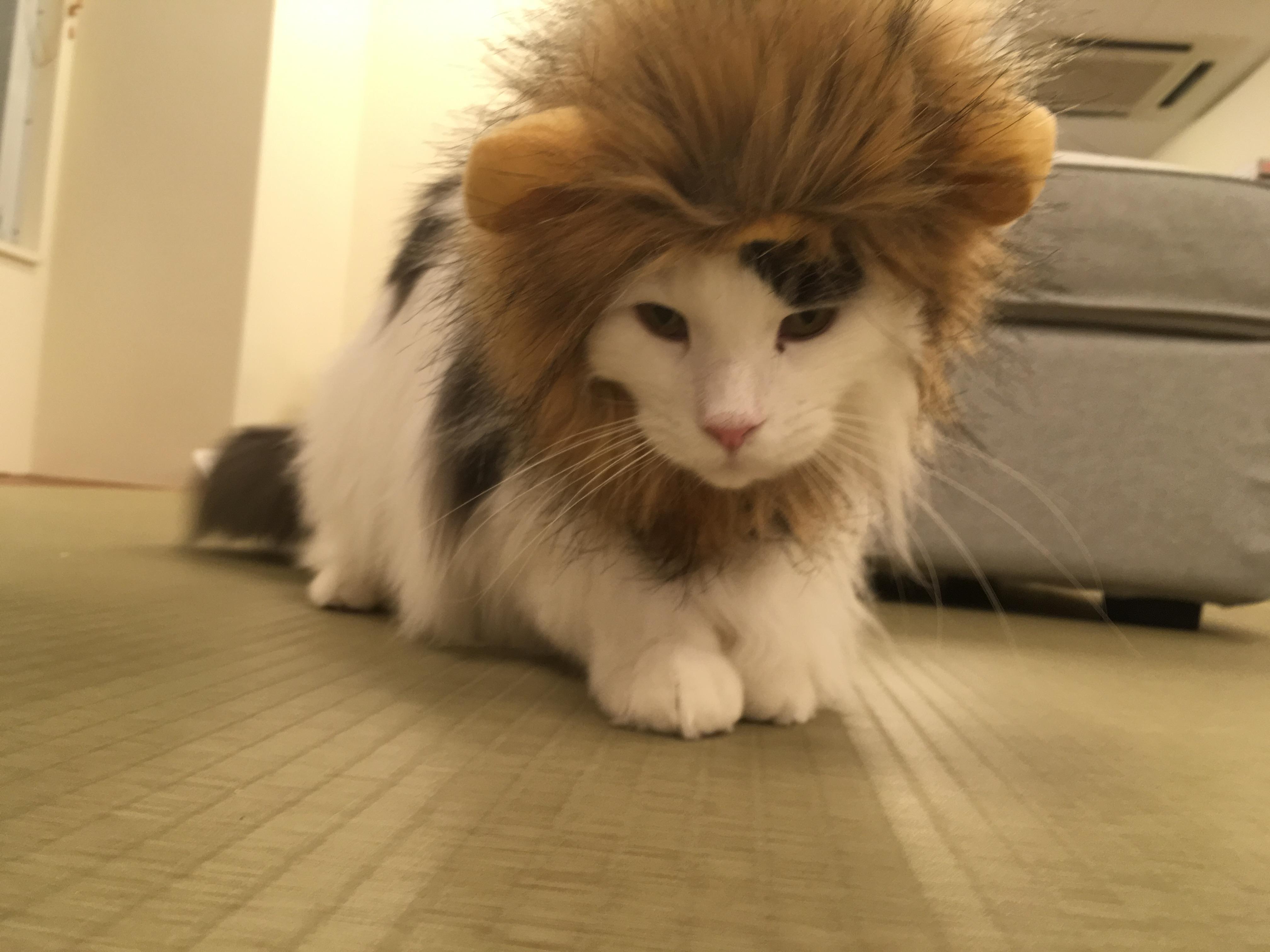 大阪梅田の猫カフェにあにゃあガクライオン