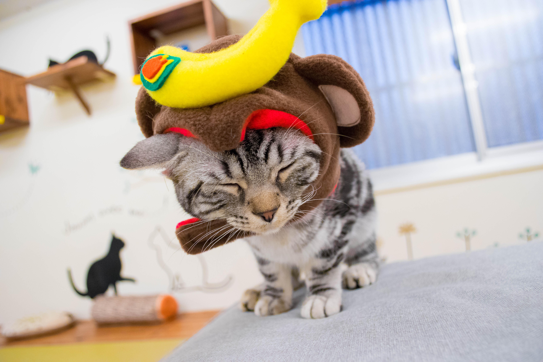 大阪梅田の猫カフェにあにゃあしらすコスプレ