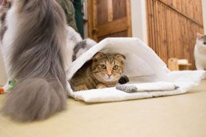 大阪梅田の猫カフェにあにゃあもかな布団でドヤ顔