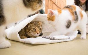 大阪梅田の猫カフェにあにゃあ布団を狙うあずき