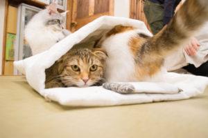 大阪梅田の猫カフェにあにゃあ布団にぎゅうぎゅうもなかあずき
