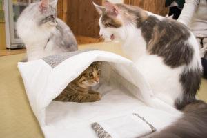 大阪梅田の猫カフェにあにゃあ布団を狙うレオン
