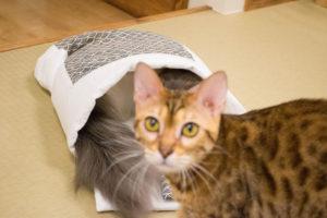 大阪梅田の猫カフェにあにゃあ布団撮影の邪魔するごましお