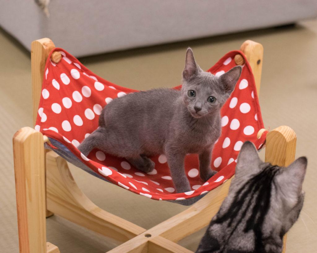 猫カフェにあにゃあロシアンブルーアルト