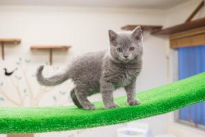セルカークレックスの子猫