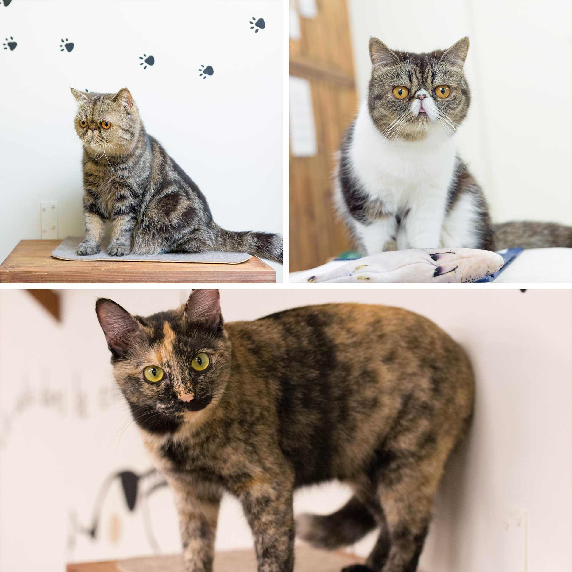 エキゾチックショートヘアーこんぶわかめ日本猫ラフ